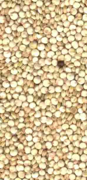 La graine de quinoa